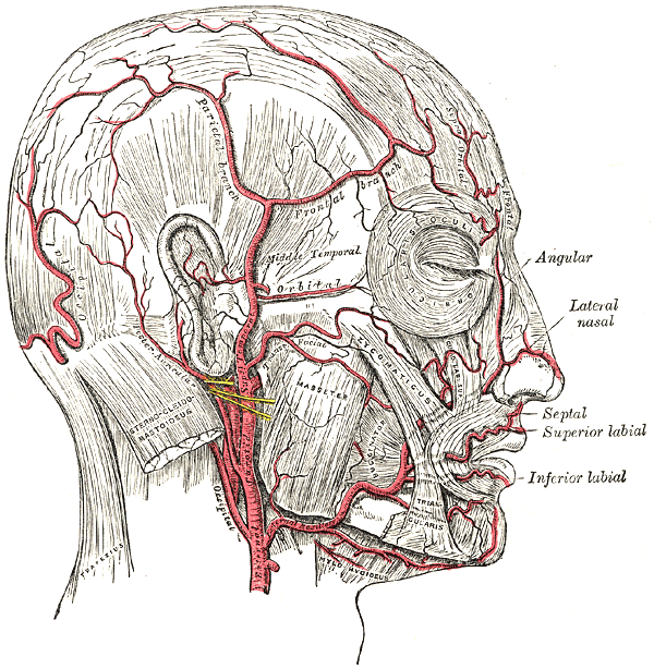浅側頭動脈